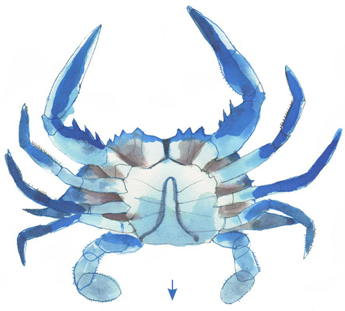 Male Crab: Jimmy