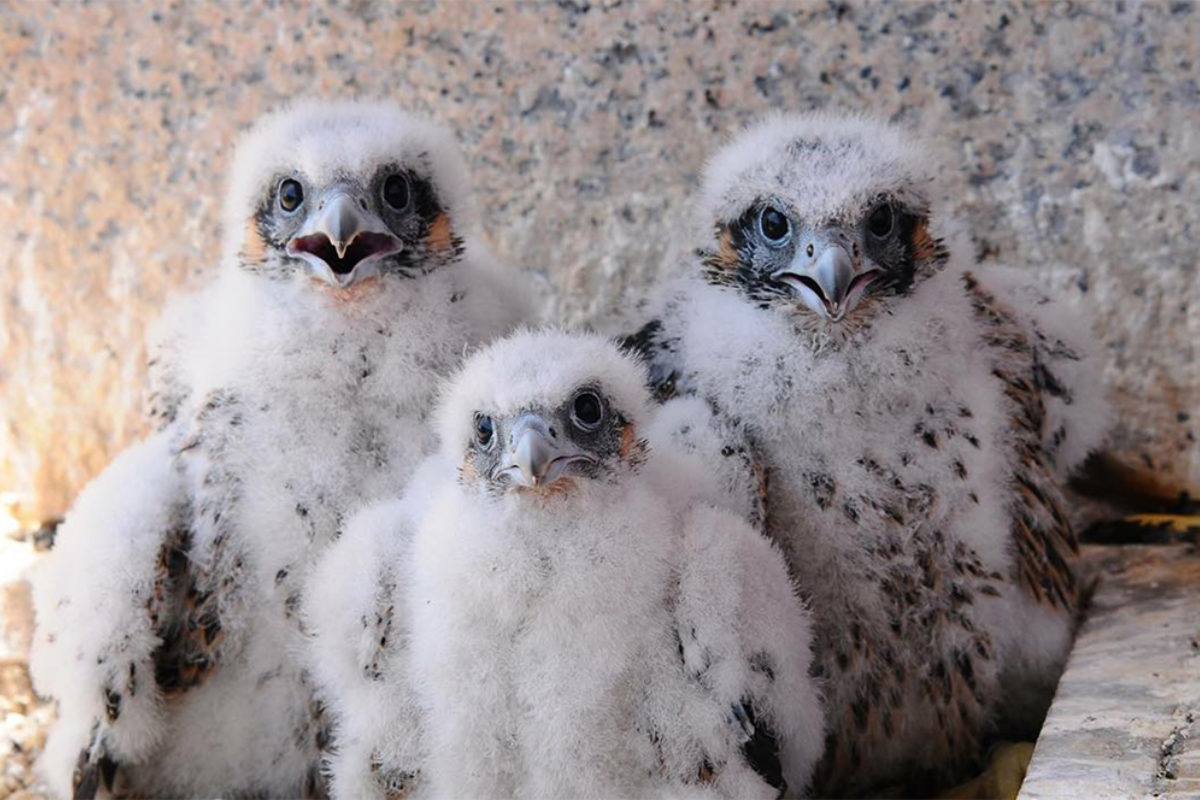 The peregrine falcon chicks atop 100 Light Street.Chesapeake Conservancy