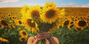 Sunflowers in Monkton.Photography by Jessie Firey