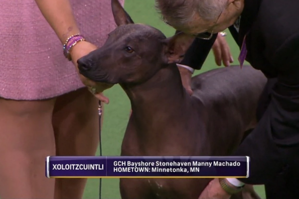 Manny Machado in dog form.Courtesy of the Westminster Kennel Club