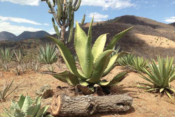 Three types of agave in San Juan del Rio, Oaxaca.—Photography by Lane Harlan
